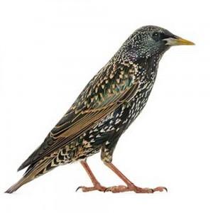 Starling-bird-removal-web-1000x1000